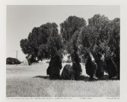 Cedar trees marking former house site—Kell Blvd. median at Taft St., Wichita Falls, Texas, 1984