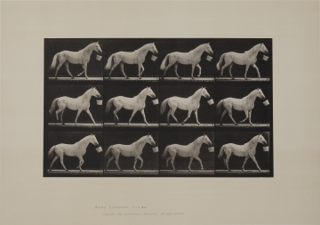 Walking with a bucket in mouth; light-gray horse, plate 650 from Animal Locomotion